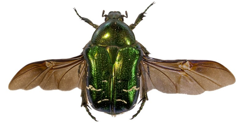 Green beetle with its wings splayed out